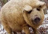 Упрощенная программа кормления свиней